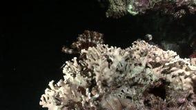 Podwodny relaksuje wideo o rafie koralowa w czysty przejrzystym Czerwony morze zdjęcie wideo