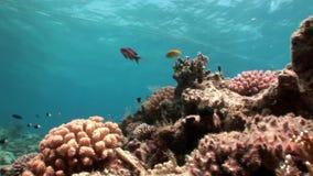 Podwodny relaksuje wideo o rafie koralowa w czysty przejrzystym Czerwony morze zbiory wideo
