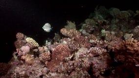 Podwodny relaksuje wideo o rafie koralowa w czysty przejrzystym Czerwony morze zbiory