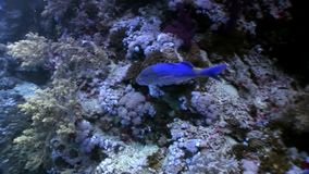 Podwodny relaksuje wideo o ryba w rafie koralowa w czysty przejrzystym Czerwony morze zbiory