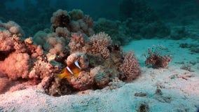 Podwodny relaksuje wideo w czysty przejrzystym Czerwony morze zdjęcie wideo