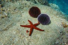 Podwodny rozgwiazda dennych czesaków morze śródziemnomorskie Zdjęcia Royalty Free