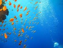 Podwodny ?wiat w g??bokiej wodzie w rafie koralowej i ro?linach kwitnie flory w b??kitnej ?wiatowej morskiej przyrodzie, ryba, ko fotografia royalty free