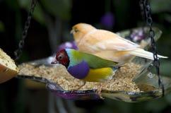 Podzwrotnikowy ogrodowy ptak Obraz Stock