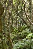 Podzwrotnikowy zielony las w Flores wyspie, Azores archipelag P Zdjęcia Stock