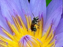 Bee on bollen Royalty Free Stock Images