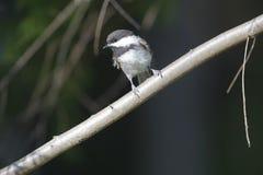 poecile capped chickadee för atricapillus black fotografering för bildbyråer