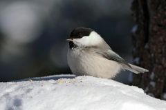 Poecile montanus. A closeup of a bird sitting on pure white snow. Poecile montanus. Willow Tit closeup in Siberia Royalty Free Stock Photos