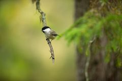 Poecile montanus. Wildlife of Finland. Beautiful picture. Karelia. From bird life. Free nature. Scandinavia. European nature. Little bird. Expanded throughout Royalty Free Stock Images