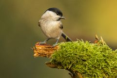 Willow Tit, Poecile montanus royalty free stock image