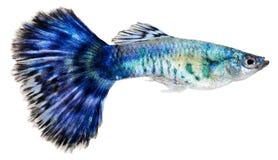 蓝色鱼色彩艳丽的胎生小鱼poecilia reticulata 库存图片