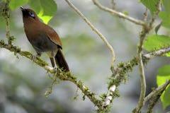 Poecilorhynchus Garrulax πουλιών μπαμπού Στοκ εικόνα με δικαίωμα ελεύθερης χρήσης