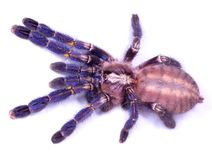 Poecilotheria metallica spider Stock Images