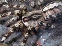 Poecilotheria ornata. Little hairy Fringed Ornamental Tarantula Royalty Free Stock Images