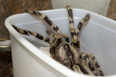 Poecilotheria striata, Pocock, 1895 � India Stock Photos