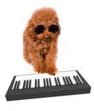 Poedel het spelen toetsenbord met zonnebril op een witte achtergrond Royalty-vrije Stock Foto