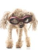 Poedel met Beschermende brillen stock afbeeldingen