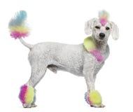 Poedel met multi-colored haar en mohawk Stock Afbeelding
