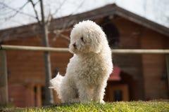 Poedelhond buiten op groene gazon en huisachtergrond royalty-vrije stock afbeelding