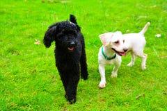 Poedelhond en Labrador Royalty-vrije Stock Afbeeldingen