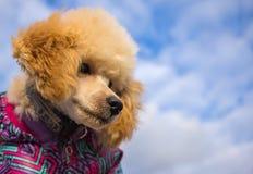 Poedelpuppy, tegen de hemel met wolken Huisdier Stock Foto's