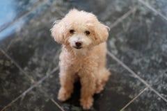 Poedelstuk speelgoed, Aanbiddelijke hond Stock Afbeelding
