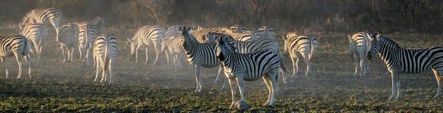 Poeira da zebra Fotos de Stock