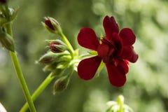 Poeny blomma Arkivfoto