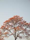 Poeppigiana Erythrina или дерево ceibo bucare символическое венесуэльское Стоковое фото RF