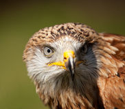 Poertrait of a Red Kite royalty free stock photo
