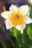 Poet's narcissus Stock Images