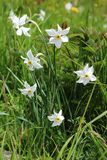 Poet`s narcissus, Ecrins National Park in the french Hautes-Alpes. Narcissus poeticus poet`s daffodil, poet`s narcissus, nargis, pheasant`s eye, findern flower stock photography