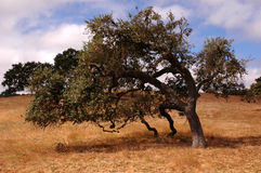 Poetic Oak royalty free stock images