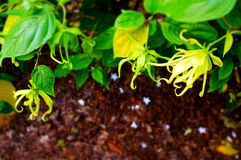 Poetic study of Ylang Ylang plant and flowers. A photograph showing the beautiful bright yellow flowers of the economically important plant named Ylang Ylang royalty free stock photography