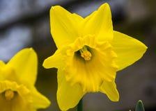 Poeticus giallo del narciso del narciso Immagini Stock Libere da Diritti