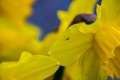 Poeticus giallo del narciso del narciso Fotografie Stock
