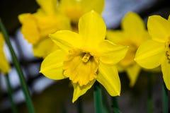 Poeticus giallo del narciso del narciso Fotografie Stock Libere da Diritti