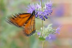 Poetry in motion. Monarch butterfly feeding on purple flowers royalty free stock images