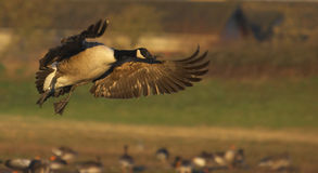 Poetry In Motion. This image was captured at Slimbridge WWT on a cold winter's morning Royalty Free Stock Photos
