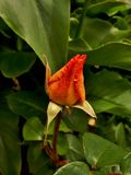 Poetry in Motion Rose Bud Royalty Free Stock Image