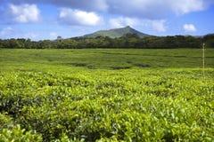 pogórzy maurritius plantaci herbata Mauritius Zdjęcie Stock
