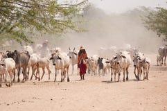 Poganianie bydła Stock Photo