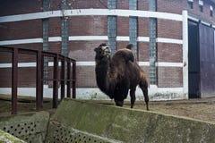 Pogarbiony wielbłąd Obraz Stock