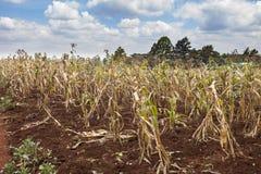 Pogarszający się uprawy w Kenja obraz royalty free