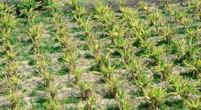 Pogodna bananowych drzew plantacja minimalista antena obraz stock