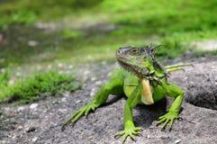 pogodna dzień iguana Zdjęcia Stock