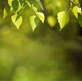 Pogodna wiosny zieleń opuszcza tło Obrazy Stock