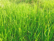 Pogodna zielona trawa Obraz Stock