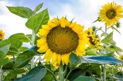 pogodni dzień słoneczniki Zdjęcie Stock