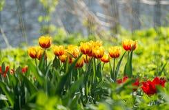 Pogodni wiosna tulipany Obraz Royalty Free